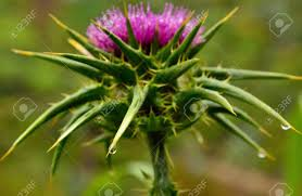 Thorns And Drop Of Water About To Fall, Milk Thistle Flower Stock ...